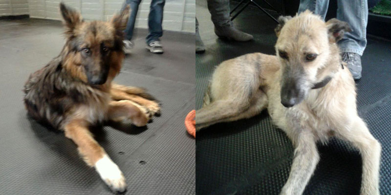Gorgeous young shepherd and sweet lurcher girl who both found new homes over the course of the Adoptathon.